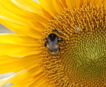 Sonnenblume mit Besuch.