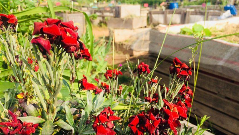 Goldlack Urban Gardening Hochbeet