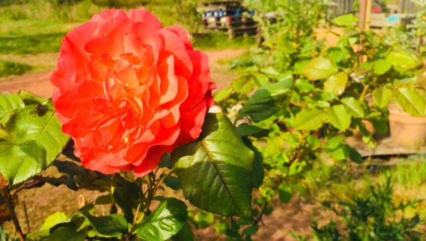 Rose im Hochbeet